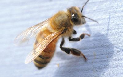 Aggressive Behavior in Honey Bees