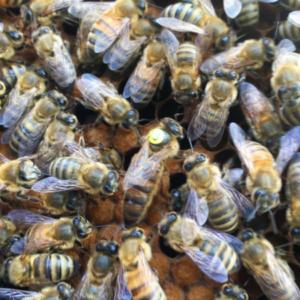 Saskatraz Honey Bee Queens