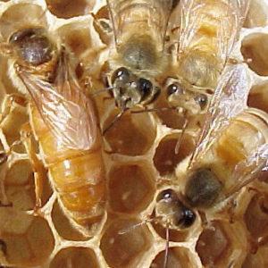 Cordovan Package Bees
