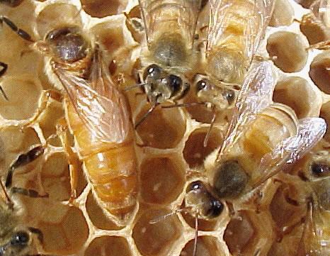 Queen Bee Failures